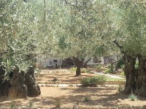 Olivenbäume in dem Garten, wo Jesus verraten wurde.